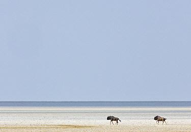 Blue Wildebeest (Connochaetes taurinus) pair in salt pan, Etosha Pan, Etosha National Park, Namibia