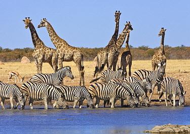 Angolan Giraffe (Giraffa giraffa angolensis) group and Zebras (Equus quagga) at waterhole in dry season, Etosha National Park, Namibia