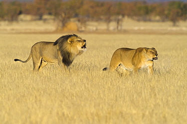 African Lion (Panthera leo) male and female in territorial call, Etosha National Park, Namibia