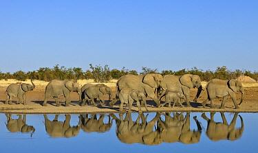 African Elephant (Loxodonta africana) herd at waterhole in dry season, Kruger National Park, South Africa
