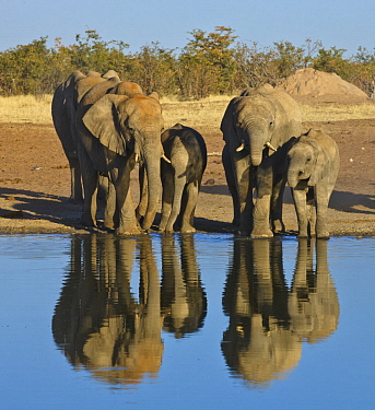 African Elephant (Loxodonta africana) herd drinking at waterhole in dry season, Etosha National Park, Namibia