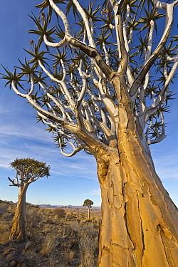 Quiver Tree (Aloe dichotoma) trio, Namib Desert, Namibia