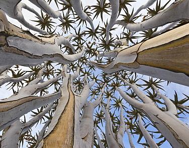 Quiver Tree (Aloe dichotoma) trunk, Namib Desert, Namibia