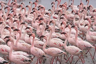 Lesser Flamingo (Phoenicopterus minor) flock, Walvis Bay, Namibia