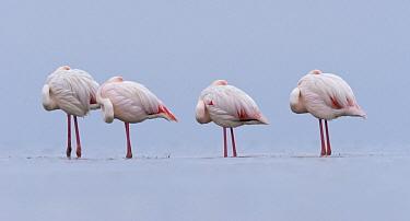 European Flamingo (Phoenicopterus roseus) group roosting, Walvis Bay, Namibia