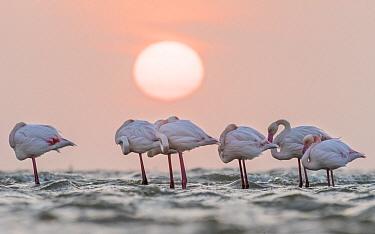 European Flamingo (Phoenicopterus roseus) group roosting at sunset, Walvis Bay, Namibia