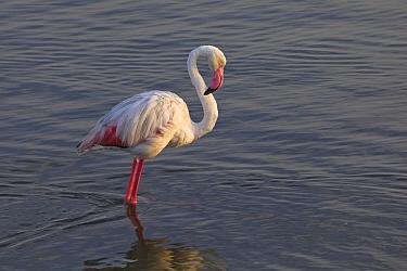 European Flamingo (Phoenicopterus roseus) wading, Walvis Bay, Namibia