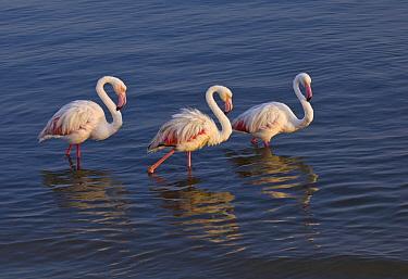 European Flamingo (Phoenicopterus roseus) group wading, Walvis Bay, Namibia