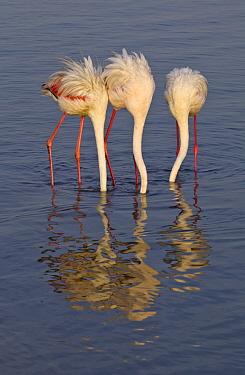 European Flamingo (Phoenicopterus roseus) trio foraging, Walvis Bay, Namibia