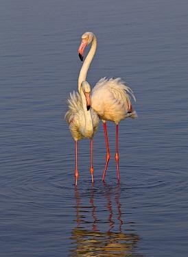 European Flamingo (Phoenicopterus roseus) and juvenile, Walvis Bay, Namibia