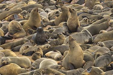 Cape Fur Seal (Arctocephalus pusillus) colony, Cape Cross, Namibia