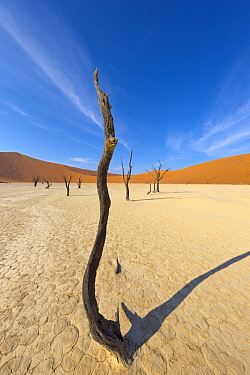 Dead trees in front of sand dunes, Sossusvlei, Namib-Naukluft National Park, Namibia