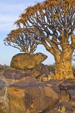 Rock Hyrax (Procavia capensis) and Quiver Trees (Aloe dichotoma), Quiver Tree Forest, Namibia