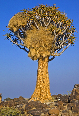 Sociable Weaver (Philetairus socius) nests in Quiver Tree (Aloe dichotoma), Quiver Tree Forest, Namibia