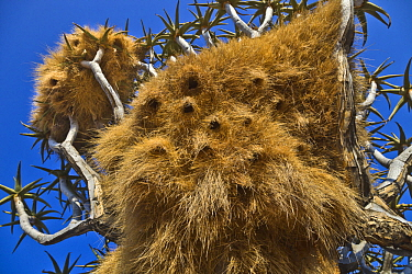 Sociable Weaver (Philetairus socius) nests, Quiver Tree Forest, Namibia