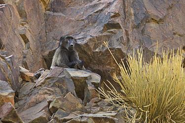 Chacma Baboon (Papio ursinus) sub-adult male, Namibia