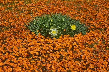 Glandular Cape Marigold (Dimorphotheca sinuata) and Narrow-leaved Iceplant (Conicosia pugioniformis) flowers in spring, Namaqualand, South Africa