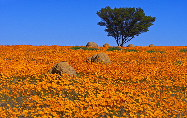 Glandular Cape Marigold (Dimorphotheca sinuata) flowers in spring, Namaqualand, South Africa