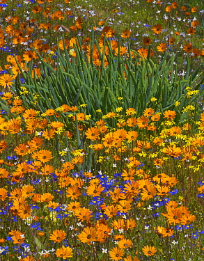 Glandular Cape Marigold (Dimorphotheca sinuata), Kingfisher Daisy (Felicia bergeriana), and yellow daisy flowers in spring, Namaqualand, South Africa