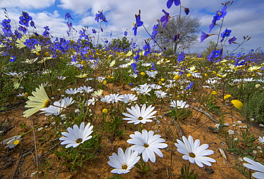 Cape Stock (Heliophila sp) and Rain Daisy(Dimorphotheca pluvialis) in spring, Namaqualand, South Africa