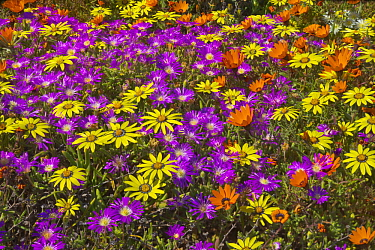 Glandular Cape Marigold (Dimorphotheca sinuata) and Dew Flower (Drosanthemum hispidum) in spring, Namaqualand, South Africa