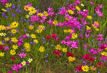 Glandular Cape Marigold (Dimorphotheca sinuata) and Painted Petal (Lapeirousia silenoides) flowers in spring, Namaqualand, South Africa