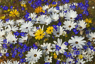 Glandular Cape Marigold (Dimorphotheca sinuata), Rain Daisy (Dimorphotheca pluvialis), and Cape Stock (Heliophila sp) flowers in spring, Namaqualand, South Africa