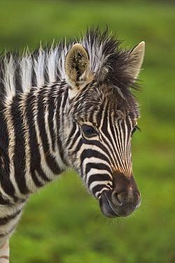 Zebra (Equus quagga) foal, Addo National Park, South Africa