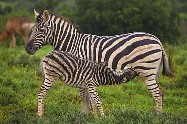 Zebra (Equus quagga) foal nursing, Addo National Park, South Africa