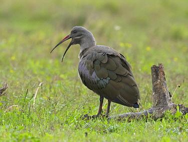 Hadada Ibis (Bostrychia hagedash) calling, Addo National Park, South Africa