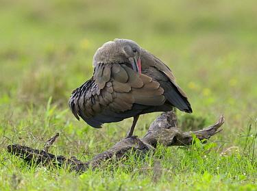 Hadada Ibis (Bostrychia hagedash) preening, Addo National Park, South Africa