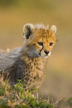 Cheetah (Acinonyx jubatus) cub, seven weeks old, Masai Mara, Kenya