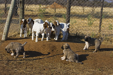 Anatolian Shepherd (Canis familiaris) puppies in coral with Domestic Goat (Capra hircus) kids to bond, as adults, the dogs are used as livestock protection from cheetahs, Cheetah Conservation Fund, Na...