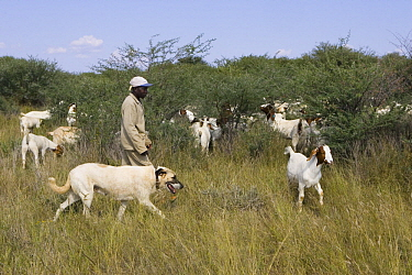 Anatolian Shepherd (Canis familiaris), used to protect Domestic Goat (Capra hircus) herd from cheetahs, Cheetah Conservation Fund, Namibia