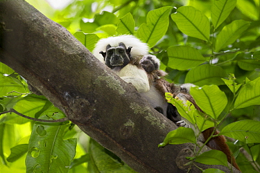 Cotton-top Tamarin (Saguinus oedipus) father with three week old baby, northern Colombia
