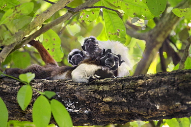 Cotton-top Tamarin (Saguinus oedipus) twins, one month old, on father's back, northern Colombia