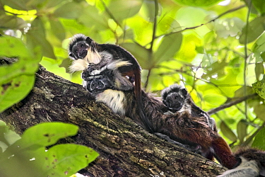 Cotton-top Tamarin (Saguinus oedipus) twins, one month old, on male, northern Colombia