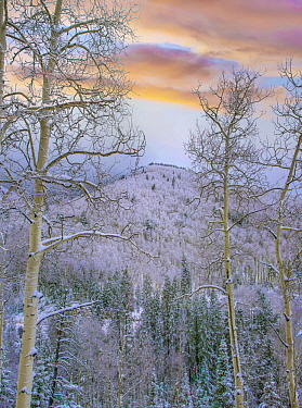 Quaking Aspen (Populus tremuloides) trees in winter, Aspen Vista, Santa Fe National Forest, New Mexico