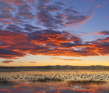 Snow Goose (Chen caerulescens) flock in pond at sunrise, Bosque del Apache National Wildlife Refuge, New Mexico