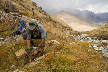 Snow Leopard (Panthera uncia) biologist, Shannon Kachel, setting snare trap used for catching and collaring snow leopards, Sarychat-Ertash Strict Nature Reserve, Tien Shan Mountains, eastern Kyrgyzsta...