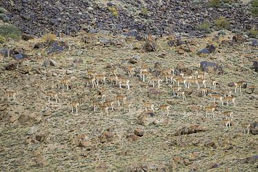 Argali (Ovis ammon) female flock, Sarychat-Ertash Strict Nature Reserve, Tien Shan Mountains, eastern Kyrgyzstan