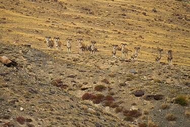 Argali (Ovis ammon) males, Sarychat-Ertash Strict Nature Reserve, Tien Shan Mountains, eastern Kyrgyzstan