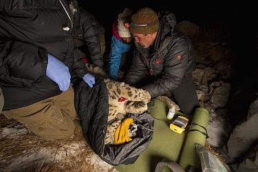 Snow Leopard (Panthera uncia) biologist, Shannon Kachel, veterinarians, Ric Berlinski and Mairam Tolukaeva, collaring wild male snow leopard, Sarychat-Ertash Strict Nature Reserve, Tien Shan Mountains...
