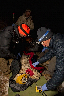 Snow Leopard (Panthera uncia) veterinarians, Ric Berlinski and John Ochsenreiter, with ranger, Zoldoshbek Bektemirov, checking vitals during collaring of wild male snow leopard, Sarychat-Ertash Strict...