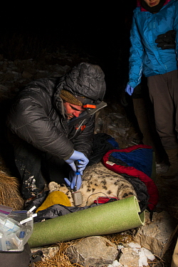 Snow Leopard (Panthera uncia) biologist Shannon Kachel, collaring wild male snow leopard at night, Sarychat-Ertash Strict Nature Reserve, Tien Shan Mountains, eastern Kyrgyzstan