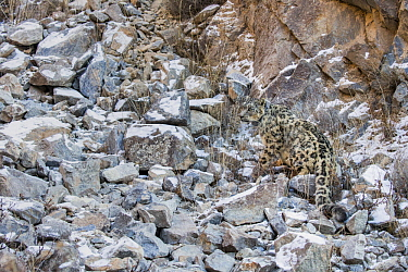 Snow Leopard (Panthera uncia) wild male with collar, camouflaged in rocky ravine, Sarychat-Ertash Strict Nature Reserve, Tien Shan Mountains, eastern Kyrgyzstan