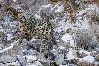 Snow Leopard (Panthera uncia) wild male with collar, Sarychat-Ertash Strict Nature Reserve, Tien Shan Mountains, eastern Kyrgyzstan