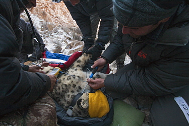 Snow Leopard (Panthera uncia) biologist, Shannon Kachel, veterinarian, Ric Berlinski, and volunteer, David Cooper, collaring male snow leopard, Sarychat-Ertash Strict Nature Reserve, Tien Shan Mountai...