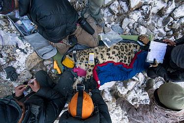 Snow Leopard (Panthera uncia) biologist, Shannon Kachel, veterinarian, Ric Berlinski, volunteer, David Cooper, biologist, Rahim Kulenbek, and ranger, Urmat Solokov, collaring male snow leopard, Sarych...