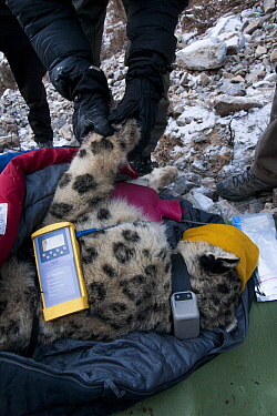 Snow Leopard (Panthera uncia) biologist, David Cooper, stimulating circulation of paw during collaring of male snow leopard, Sarychat-Ertash Strict Nature Reserve, Tien Shan Mountains, eastern Kyrgyzs...